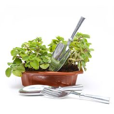 Ajwain Plant is a herb plant that you can buy for your garden.