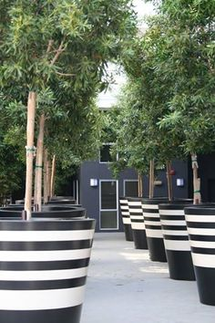 Giant Black And White Striped Planter Pots With Trees?