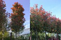 Photinia Red Robin Full Standard Mature Trees on Special Offer