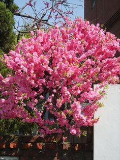 Genus: Prunus Species: triloba var. multiplex Common: Double pink flowering plum H: 10 W: 10 Z: 2