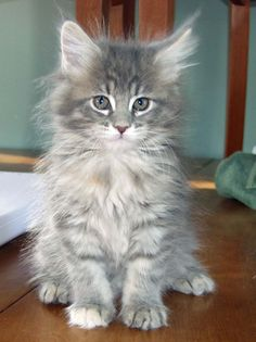 Silver Blue Tabby Maine Coon - Reminds me of Rosie at 2 months old.
