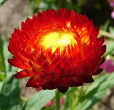 Xerochrysum bracteatum - Wikipedia, the free encyclopedia