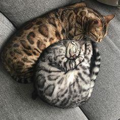 Tabby Cats Nestling cat and kitten. Beautiful Cat Breeds, Beautiful Cats, Animals Beautiful, Cute Animals, Animals Images, Funny Animals, Cute Kittens, Gato Bengali, Buffy