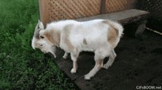 Goat.Exe Has Stopped Working. LOL got to love fainting goats