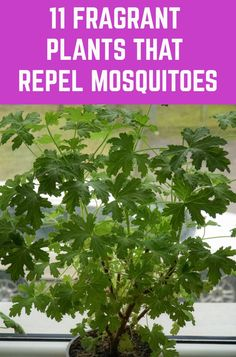 11 Fragrant Plants That Repel Mosquitoes - - Here are eleven beautiful and fragrant plants that repel mosquitoes - keeping your home and garden mosquito free. Plants That Repel Bugs, Cool Plants, Free Plants, Air Plants, Planting Vegetables, Growing Vegetables, Gardening For Beginners, Gardening Tips, Organic Gardening