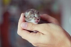 Cute Smallest Kitten in the World | The Cutest Kittens Ever! « Read Less