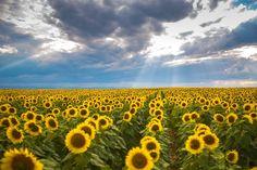 girasoles, plantación, cultivo, plantas, cielo, nublado, nubes, 1712191731