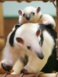 anteaters...one day i will have one...i cannot wait!