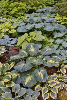 Hostas garden