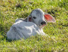 braham calf