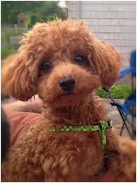 Michigan Red Toy Poodles & Maltese - Past Puppies Toy Puppies, Cute Puppies, Cute Dogs, Poodle Puppies, Red Poodles, Mini Poodles, Poodle Cuts, Poodle Mix, Tea Cup Poodle