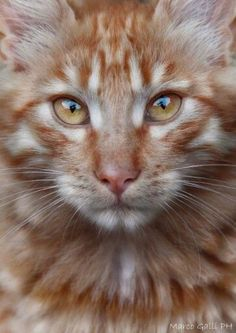 See These Cats That Have Been Morphed With Other Cute Animals Pics) Pretty Cats, Beautiful Cats, Animals Beautiful, Cute Animals, Pretty Kitty, Cool Cats, Gatos British, Orange Cats, Tier Fotos