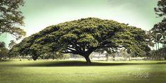 Monkeypod Umbrella is an art print of a large bonsai like tree in the Big Island of Hawaii, Hawaiian landscape photography.