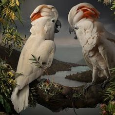 Joseph McGlennonEclectus Australis – Salmon Crested Cockatoos, 2018Giclée digital print on Archival Hahnemuhle Fine Art Paper 120 x 80 cm edition of 8 + 2 AP SOLD OUT 167 x 111 cm edition of 8 + 2 AP $6,000 unframed 193 x 128 cm Two 'Hero' Editions + 1 AP $8,000 unframed Enquire BerlinEnquire Sydney Art Series, Cockatoo, Fine Art Paper, Joseph, Sydney, Salmon, Digital Prints, Hero, Fingerprints