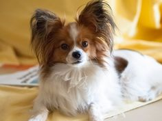 My Papillon Dog by Carlos Carvalho on 500px