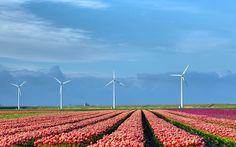 #molinos de viento, #tulipanes, #naturaleza, #campo