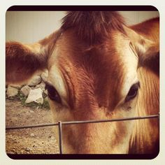 Who can resist a gaze like this?!? #Moo #Browncow