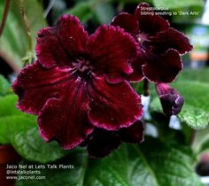 Streptocarpus Sibling seedling to 'Dark Arts' by Jaco Nel www.jaconel.com