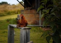 """According to a My Pet Chicken blog, the Welsummer is the ideal chicken in the event of a zombie apocalypse.  So folks who watch """"doomsday preppers"""", this chicken's for you."""