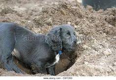 Image result for black working cocker spaniel