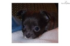 long-coated chihuahuas female blue - Yahoo Search Results Yahoo Bildsökresultat