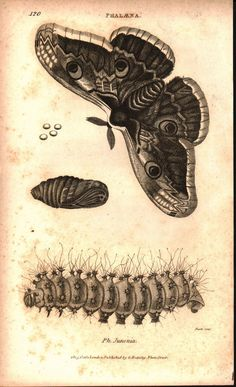 "Phalana Moth Life Cycle Print Issued: Original hand-colored engraving from ""Zoological Lectures"" drawn engraved and published in London circa 1809 by George Shaw (1751-1813) and principal engraver Mrs"