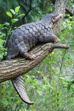 "Pangolins are found naturally in tropical regions throughout Africa and Asia. The name, pangolin, comes from the Malay word, pengguling, meaning ""something that rolls up"". A pangolin has large keratin scales covering its skin, and is the only known mammal with this adaptation. Now you know! Very cool animal, sad to see them hunted to near extinction."