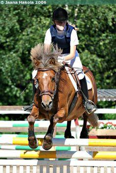 Estonian Native gelding Elkur