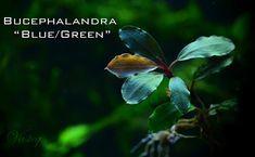 "Bucephalandra ""blue/green"""
