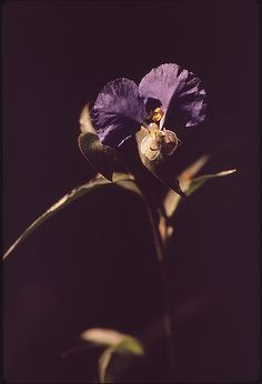 Flowers | by The U.S. National Archives Still Picture, Photo Maps, National Archives, Color Inspiration, Eye Candy, Flora, Purple, Irises, Random Things