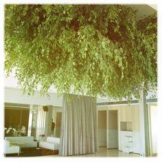 massive birch canopy