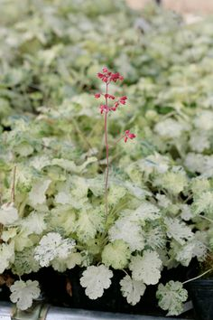 Heuchera 'Monet'