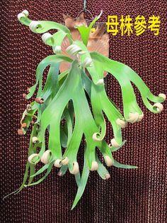 P. foongsiqi 鹿角蕨