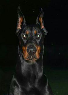 Black Doberman