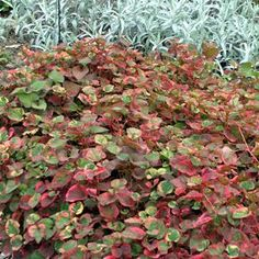 Iberis sempervirens flocon de neige 3 x 9cm pots plantes vivaces