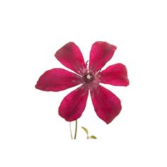 Burgundy Red Clematis
