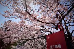 A trip to Sakura places #townske guide #japan #sakura #tokyo #kyoto #nara #kobe #uji #himeji #spring