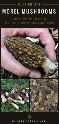 Check out our morel mushroom hunting guide and make sure you get your fair share this morel hunting season! Growing Mushrooms, Wild Mushrooms, Stuffed Mushrooms, Quail Hunting, Turkey Hunting, Bear Hunting, Crossbow Hunting, Archery Hunting, Diy Crossbow