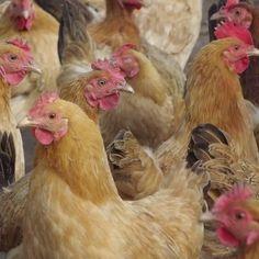 散养绿壳蛋种鸡 高成活率脱温绿壳蛋鸡 农家原生态绿壳蛋鸡苗批发