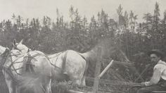 A black and white picture from Hanover, Pennsylvania circa 1908 shows a farmer harvesting his field of hemp. via abc 27