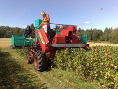 Puutarhuriopiskelijat korjaavat herukoita koneellisesti HAMI Lepaalla
