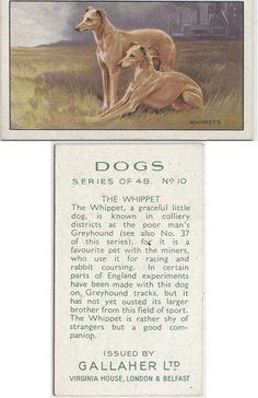 """Whippet cigarette card, 1936  """"The Whippet, a graceful little dog, is known in colliery districts as the poor man's Greyhound, for it is a favourite pet with the miners, who use it for racing and rabbit coursing. In certain parts of England experiments have been made with this dog on Greyhound tracks, but it has not yet ousted its larger brother from this field of sport. The Whippet is rather shy of strangers but a good companion."""" Whippet Dog, Whippets, Vintage Dog, Dog Paintings, Italian Greyhound, Little Dogs, Public Domain, Girls Best Friend, I Love Dogs"""