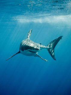 Great white shark fings and teeth in the blue ocean. Great white shark with its , Shark Week, Happy Shark, Shark Photos, Great White Shark Pictures, Hidden Images, Shark Art, Shark Tattoos, Ocean Creatures, Ocean Life