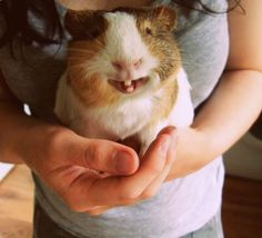 funny guinea pig showing its teeth