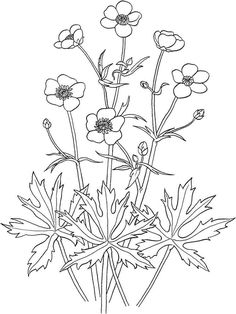 Buttercup Flower Coloring Pages Check More At Prinzewilson