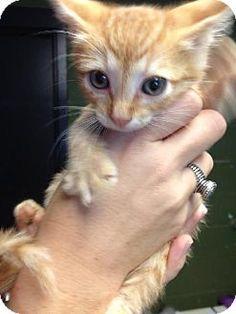 Prattville, AL - Domestic Shorthair. Meet Dixon 19132 a Kitten for Adoption.