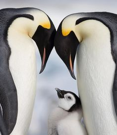At least someone's having a White Christmas: Emperor penguins frolic on Snow Hill in Antarctica King Penguin, Penguin Love, Cute Penguins, Animals And Pets, Baby Animals, Cute Animals, Animals Photos, Nature Animals, Beautiful Birds