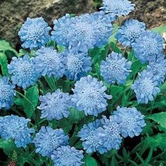 """Butterfly Blue Scabiosa ~ This compact perennial blooms from spring through fall, producing blue double-flowering pompons of color. Perfect for the front of the border, rock gardens and patio containers. Light: Full sun to partial shade; Height: 12-15""""; Deer Resistant; Bloom Time: Summer;"""