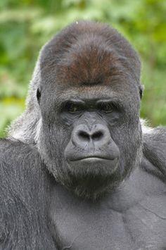 Western Lowland Gorilla | Makula. Westelijke laaglandgorilla… | Flickr Big Gorilla, Big Animals, Animals And Pets, Western Lowland Gorilla, Silverback Gorilla, Prehistoric Animals, Orangutan, Animal Drawings, Pandas