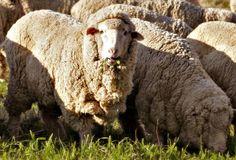 Wolgoed.nl  Diervriendelijke & biologische merino wol  Merino schaap Merino sheep